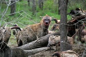 Hyena And Vulture At Kill