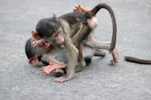 Baboon Business