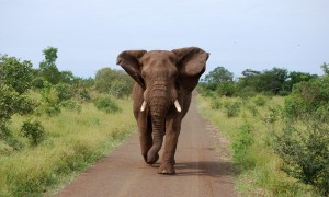 Elephant On Concession Road