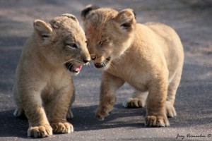 Lion Cubs Brotherly Love - Joey Vermeulen