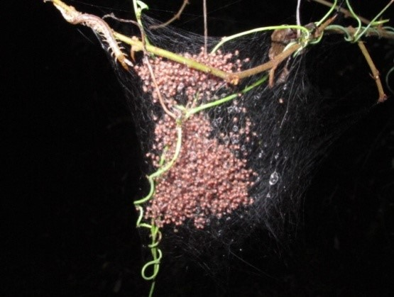 Baby spiders almost ready to leave the nest