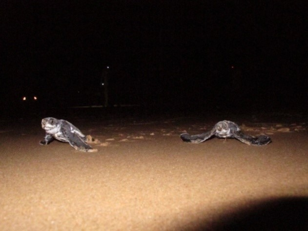 Always an amazing sight - hatchlings headed for the sea