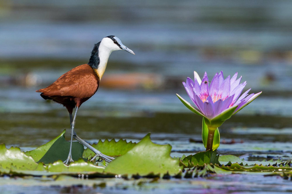 Jacana and lily photograph by Scott Ramsay for Africa Geographic