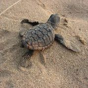 This turtle baby struggles its way to the sea