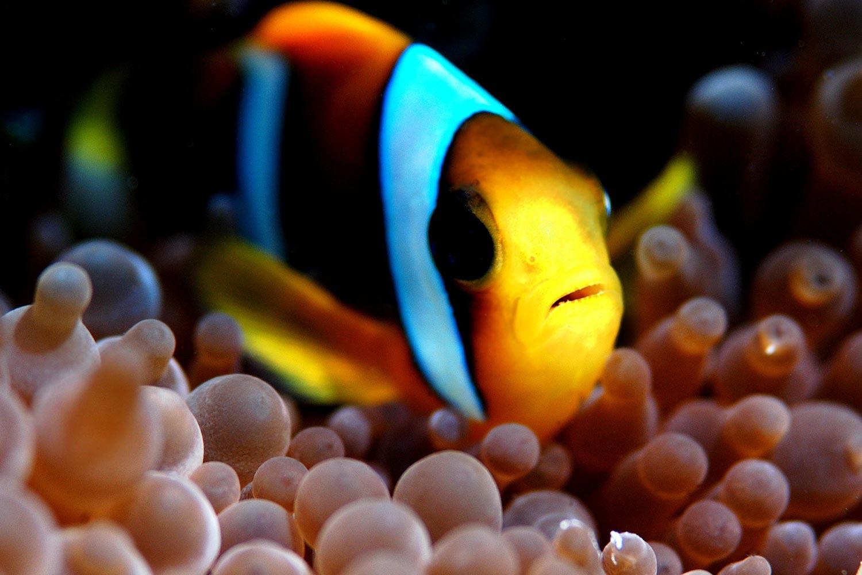 Clown Fish by Donna Scherer Fisheyeafrica