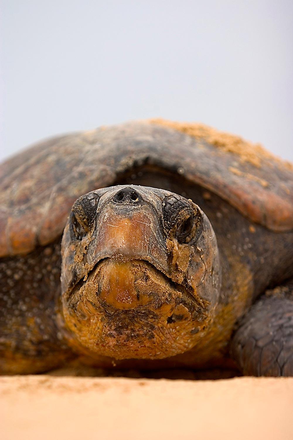 turtle tracking - Loggerhead Turtle