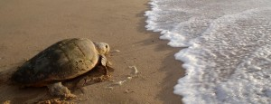 Turtle Tracking - Turtle Returning To The Sea