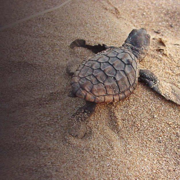 418-Turtle-hatchling-1024x627