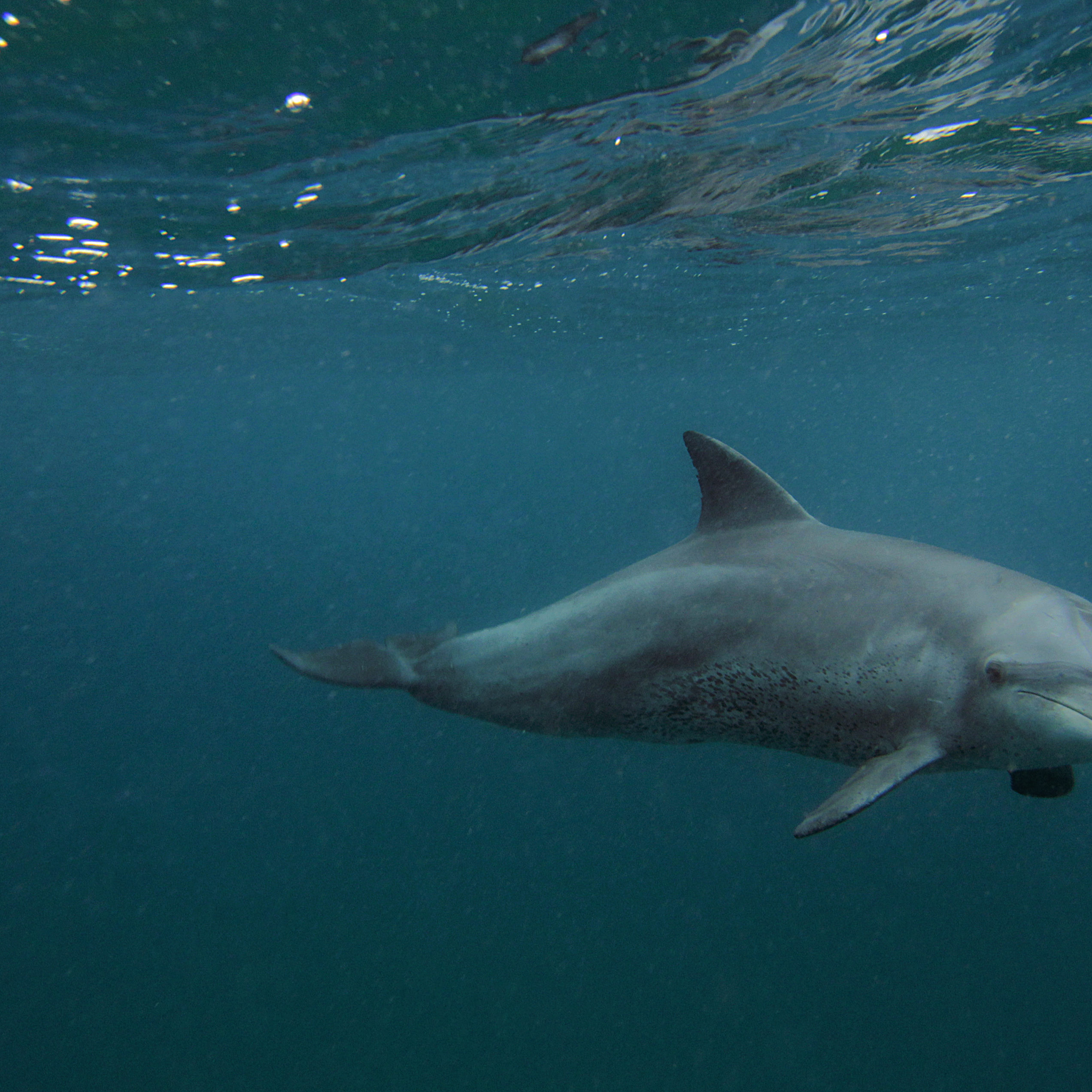 Dolphin seen from Thonga Beach Lodge